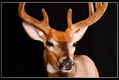 Whitetail/Mule Deer Shoulder Mount - $585